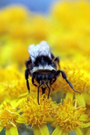 Bumblebee Pollinating Yellow Flower photo