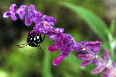 Bumblebee Pollinating Lavender Flower photo