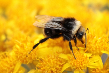Bumblebee Pollinating Yellow Flower photo