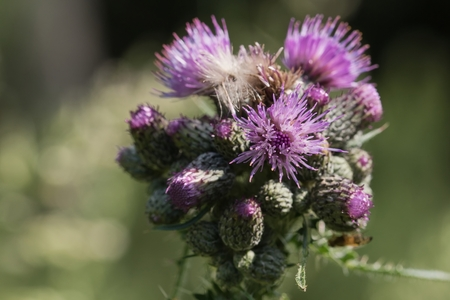 Detail of Flowering Thistle (Carduus).