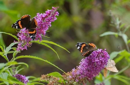 Der Schmetterling von Schildpatt sitzt auf Flieder. Standard-Bild