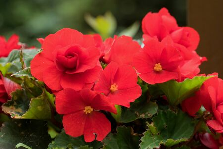 Red flowers of ornamental begonia.