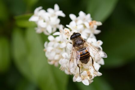 The fly sits on a white flower.