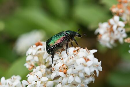 Green beetle Cetonia aurata sitting on white flower. Stok Fotoğraf