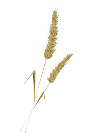 corn stalk: golden wheat is a compelling autumn landscapes