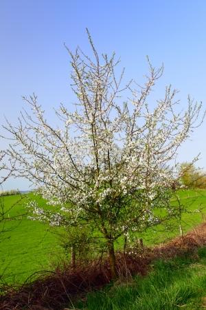 Young plum tree at the edge of the field near Rheinland-Pfalz, Germany