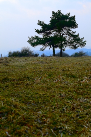 Pinetree on a field near Pruem, Rheinland-Pfalz, Germany  Winter, misty evening, Adobe RGB  photo