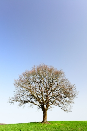 A lonely oak tree by city Pruem, Rheinland-Pfalz  Germany photo
