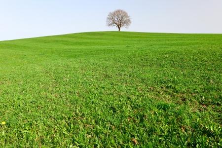 A lonely oak tree by city Pruem, Rheinland-Pfalz  Germany photo