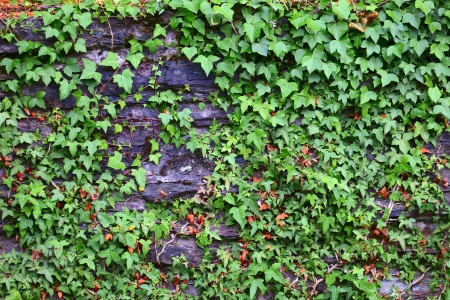 ivy wall: Stone wall with ivy, lichen and moss  in small city Saarburg, Rheinland-Pfalz, Germany, summer Stock Photo