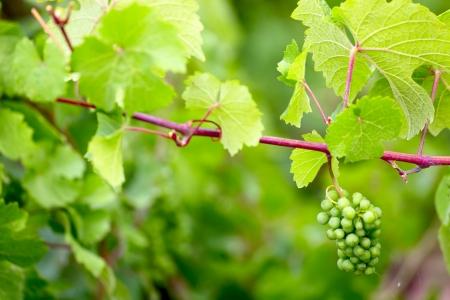 Vine plants with grape fruits by Saarburg, Rheinland-Pfalz, Germany, summer