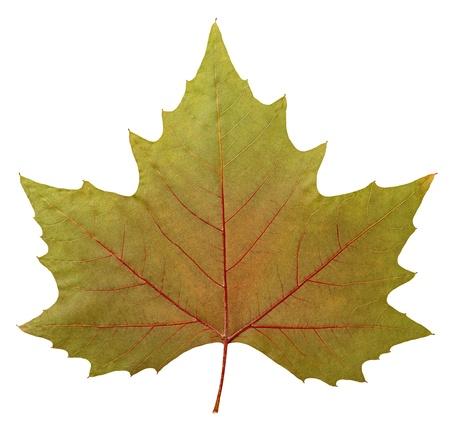Close up of a dry plane tree leaf   Platanus acerifolia , Platanus hispanica  , isolated on white, 2 images stitched, Stock Photo