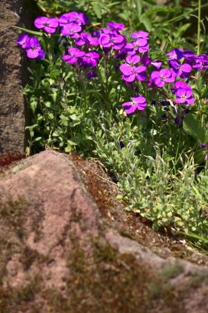 saarland: Aubrieta flowers in the stone garden, summer, Saarland  Germany