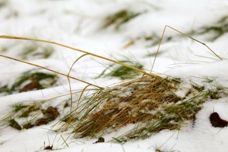 saarland: The grass plants in winter 20092010, Saarland  Germany