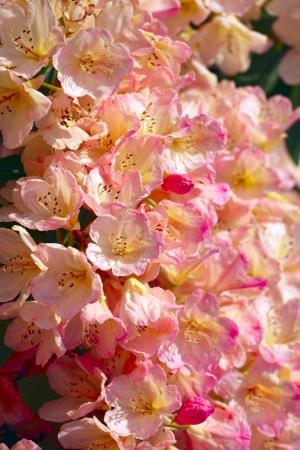saarland: Rhododendron flowers in a garden, summer, Saarland  Germany