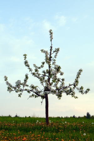 Lonely young apple tree with flowers on field, evening, spring, by Honzrath - Saarland  Germany photo