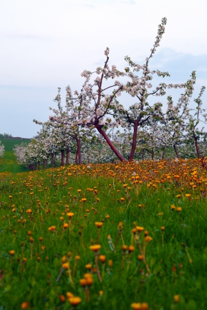 apple orchard: View of young apple orchard with flowers, dusk, spring, SaarlandGermany Stock Photo