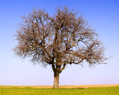 leafless: Lonely pear tree on a field, sunny day, spring, SaarlandGermany, stitched