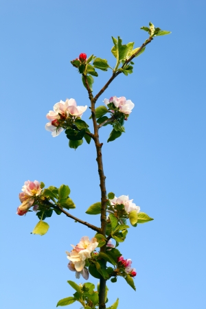 Close up of apple flowers in the warm evening sun, spring, by Beckingen, Saarland Germany photo