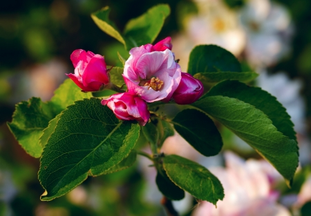 Close up of apple flowers in the warm evening sun, spring, by Beckingen, SaarlandGermany photo