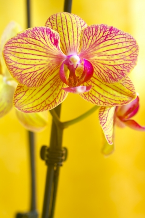 Close up of a orchid flower on yellow background photo