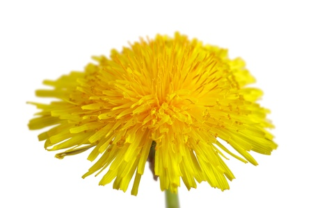Close up of a dandelion flower isolated on white background photo