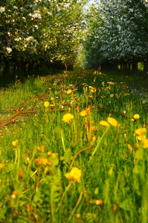 saarland: View of young apple orchard with flowers, evening, spring, Saarland  Germany Stock Photo