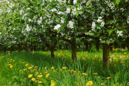 View of young apple orchard with flowers, evening, spring, Saarland  Germany photo