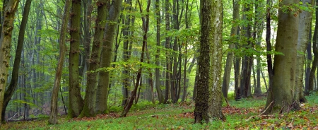 Mixed forest (beech, hornbeam and oak ) in a misty day, autumn, Saarland / Germany. Stitched Standard-Bild