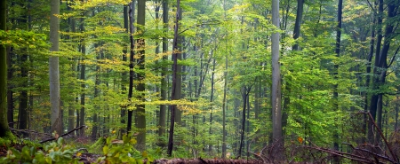 thickets: Mixed forest (beech, hornbeam and oak ) in a misty day, autumn, Saarland  Germany. Stitched