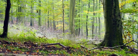 thickets: Mixed forest (beech, hornbeam and oak ) in a misty day, autumn, Saarland  Germany