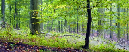saarland: Mixed forest (beech, hornbeam and oak ) in a misty day, autumn, Saarland  Germany