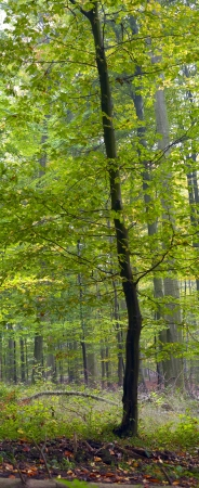beech tree: Young beech tree in a mixed forest (beech, hornbeam and oak ), misty day, autumn, Saarland  Germany Stock Photo