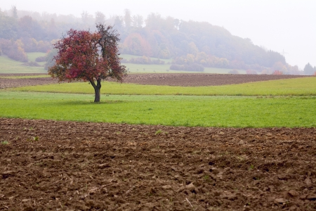 A lonely apple tree on a field, misty day, autumn, Saarland / Germany