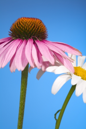 Close up of a coneflower and daisy flower, isolated on blue background photo