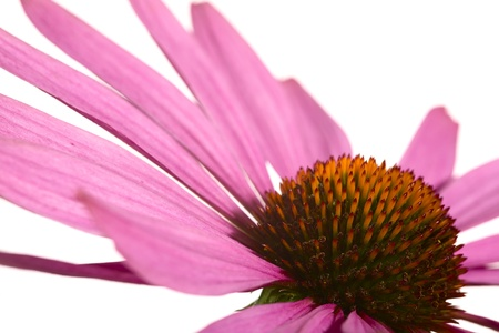 Close up of a coneflower, isolated on white background photo