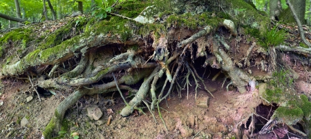 View of the oak tree roots in a mixed forest,summer,HDR panoramic XXL, Saarland  Germany photo