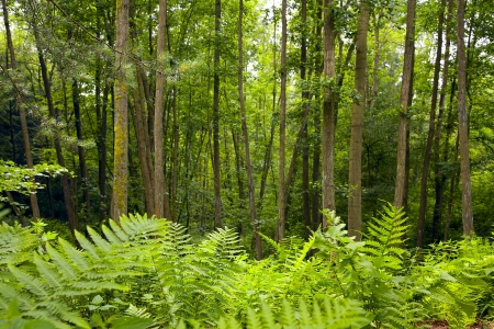The alder forest (alder and beech ) in a sunny day, summer, Saarland  Germany