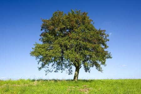 apfelbaum: Einsame Apfelbaum auf einem Feld von Beckingen, Saarland  Deutschland,