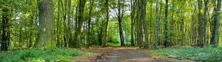 A dirt road in the mixed forest (beech, oak and ash) in a sunny evening, by Beckingen,  Saarland  Germany, panoramic XXL, Stock Photo