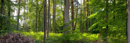 A mixed forest ( pine,spruce and beech) in a sunny day, summer by Beckingen,  Saarland  Germany, photo