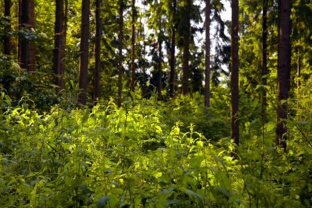 saarland: A mixed forest ( pine,spruce and beech) in a sunny day, summer by Beckingen,  Saarland  Germany,