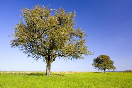 Pear and apple trees on a field, by Beckingen, Saarland   Germany,  Stock Photo