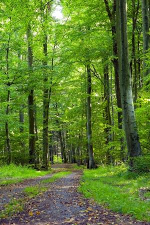 verticales: Un camino de tierra en el bosque mixto de hayas, robles y fresnos en una tarde soleada, en Beckingen, Saarland Alemania,