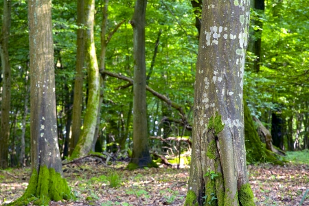 hornbeam: A view of the deciduous forest by Beckingen, Saarland  Germany.