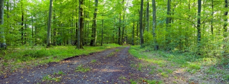 stitched: A dirt road in the mixed forest (beech, oak and ash) in a sunny evening, by Beckingen,  Saarland  Germany, panoramic XXL, Stock Photo