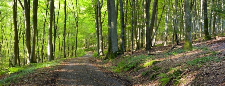 A dirt road in the mixed forest (beech, oak and ash) in a sunny evening, by Beckingen,  Saarland / Germany, panoramic XXL,