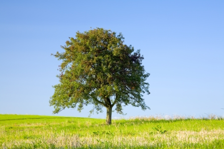 saarland: Lonely apple tree on a field, by Beckingen, Saarland  Germany,