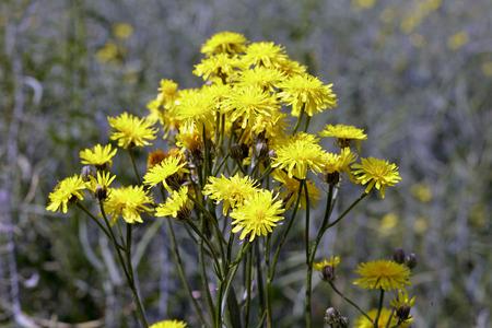 yellow wildflowers: Yellow wildflowers on a meadow,  spring, Saarland  Germany