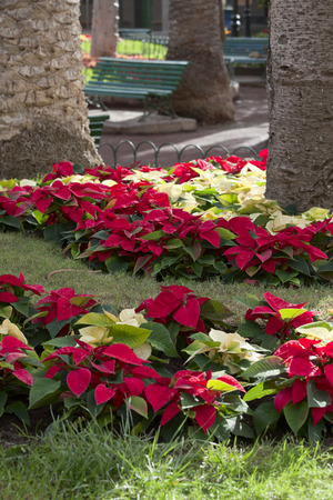 Poinsettia plants on a flower bet in Puerto de la Cruz, Tenerife, Canary Islands, Spain.